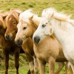 800px-Iceland_horse_herd_in_August